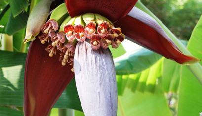 Waste To Wealth: Banana Flowers